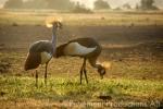 king cranes