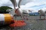 gulls feasting