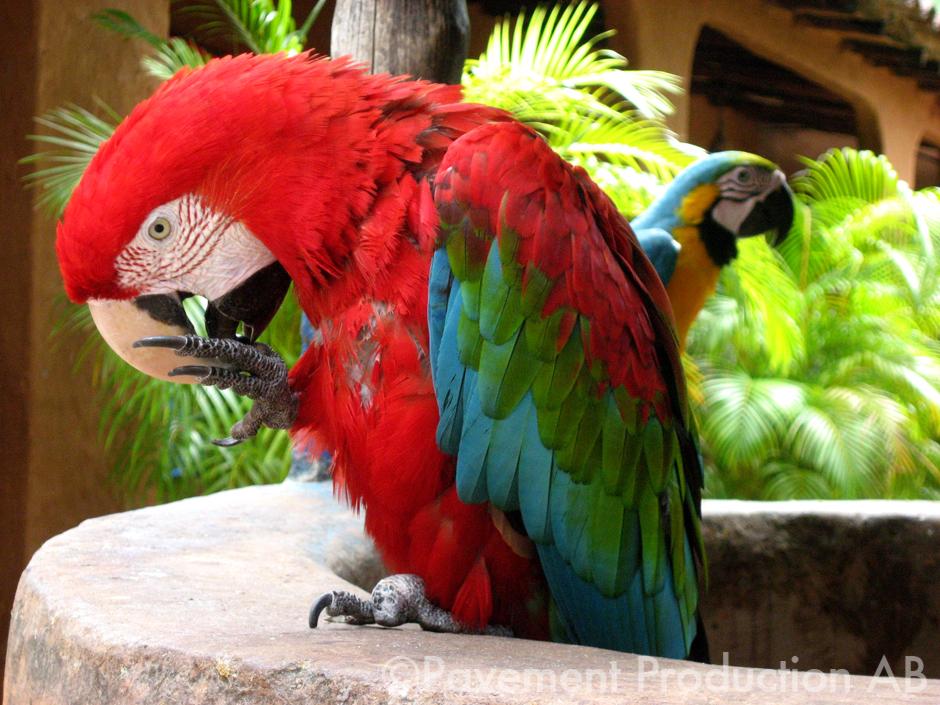 Parrots in Venezuela
